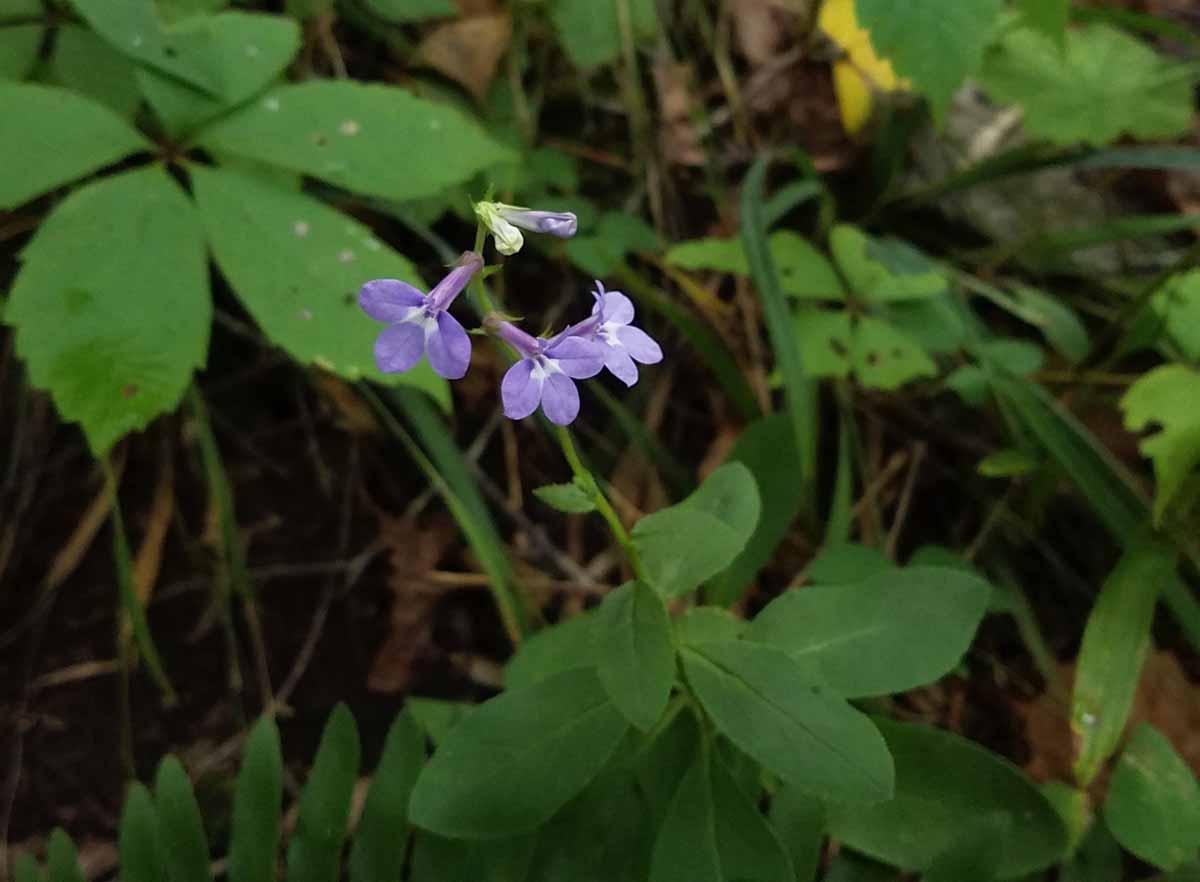 Downy lobelia (Lobelia puberula) | Western Carolina ...
