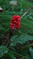 Jack-in-the-Pulpit (Arisaema triphyllum) Fruit