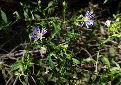 Late Purple Aster (Symphyotrichum patens)