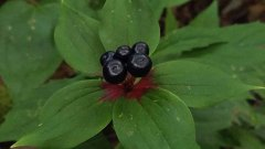 Many-berried Indian Cucumber Root (Medeola virginiana) Closeup