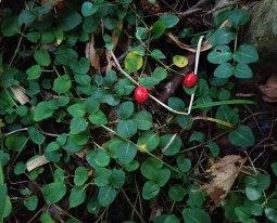 Partridge Berry (Mitchella repens) Fruit