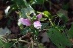 Pink Turtlehead (Chelone lyonii)