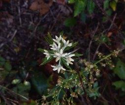 Pseudognaphalium obtusifolium (Rabbit Tobacco; Sweet Everlasting)