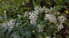 White Boneset (Eupatorium album)