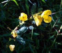 Wild Sensitive Plant (Chamaecrista nictitans)