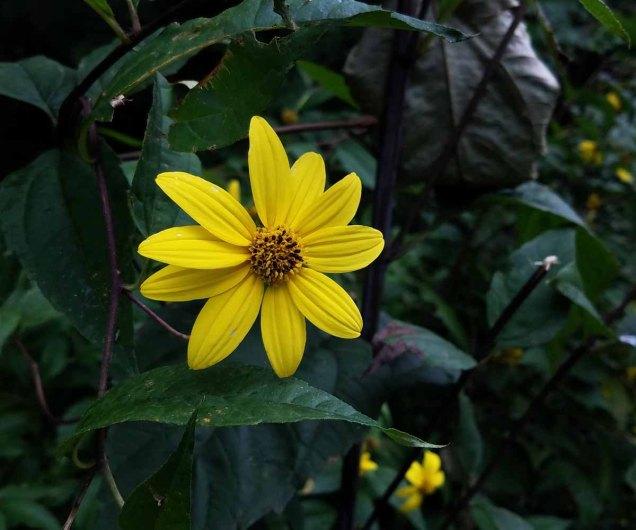 Woodland Sunflower (Helianthus divaricatus)