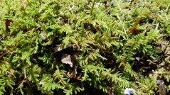 Feather Moss (Hypnum)