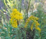Beetle on Goldenrod