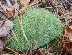 Leucobryum (Pincushion Moss)