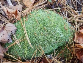 Leucobryum (Pincushion Moss)