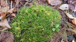 Mix of Dicranum (Windswept Moss) and Thuidium (Fern Moss)