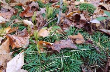 Lycopodium digitatum (Fan Club Moss) Fertile Shoots