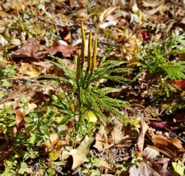 Lycopodium obscurum (Ground Pine) Fertile Shoots