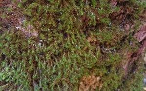 a Hook Moss (Leucodon sp.)