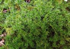a Smooth Cap Moss (Atrichum sp.)