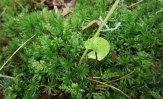 a Smooth Cap Moss (Atrichum sp) & Mnium mix
