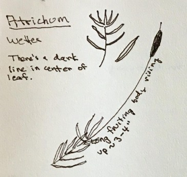 Atrichum