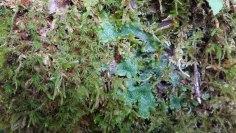 Cats Tongue Liverwort (Conocephalum conicum) & Other Goodies