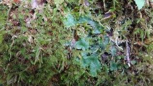 Cat's Tongue Liverwort (Conocephalum conicum) & Other Goodies