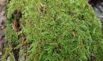 a Feather Moss (Hypnum sp.)