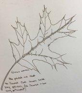 Scarlet Oak (Quercus coccinea) sketch by Lucy Prim