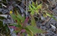Hypericum gentianoides (Orange Grass)