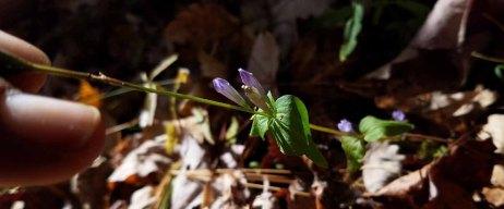 Really Tiny Stiff Gentian (Gentianella quinquefolia)