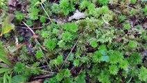 Rose Moss (Rhodobryum)