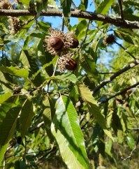 Quercus acutissima* (Sawtooth Oak) Acorns