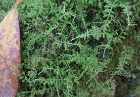 a Shaggy moss (Rhytidiadelphus sp.)
