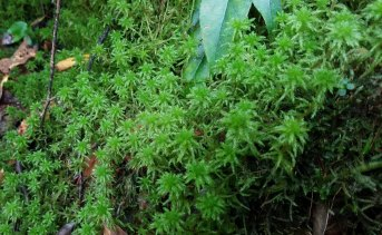 Sphagnum or Peat Moss