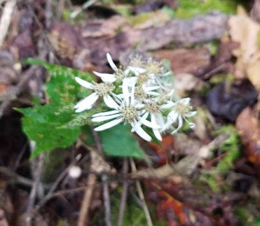 White Wood Aster (Eurybia divaricata)