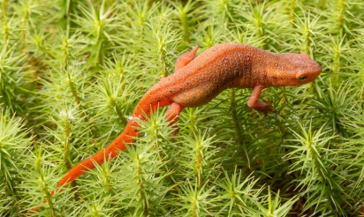 Eastern Newt, Eft stage (Notophthalmus viridescens) on Polytrichum Moss