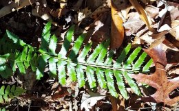 A very toothed Christmas fern (Polystichum acrostichoides)