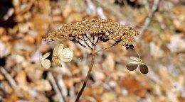a Hydrangea flowerhead