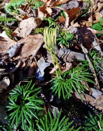 Fan Club Moss (Lycopodium digitatum)