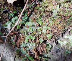 Cat's Tongue Liverwort (Conocephalum conicum)