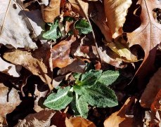 Downy Rattlesnake Plantain (Goodyera pubescens)