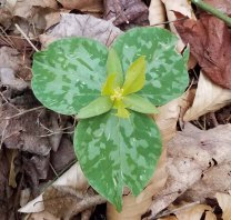 Trillium cuneatum (yellow/green form) or is it Trillium luteum?