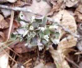 Obolaria virginica (Pennywort)