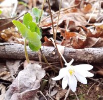 The last Sanguinaria canadensis bloom (Bloodroot)