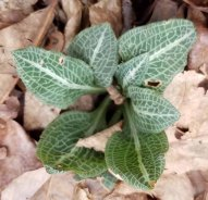 Goodyera pubescens (Downy Rattlesnake Plantain)