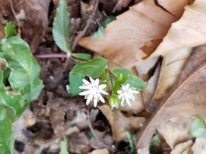 Stellaria pubera (Giant or Star Chickweed)