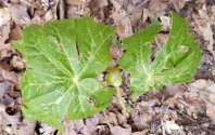 Podophyllum peltatum (May Apple; Mandrake)