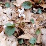 Viola blanda (Sweet White Violet)