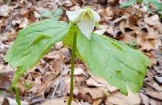 Trillium simile (Sweet White Trillium)