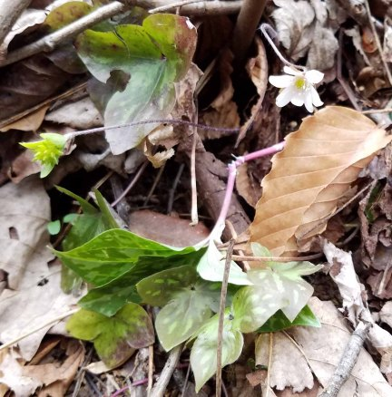 The last Anemone acutiloba bloom (Sharp-lobed Hepatica)