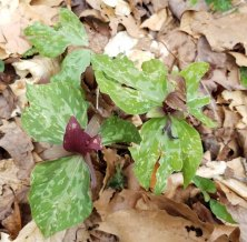 Trillium cuneatum (red form) (Toadshade; Little Sweet Betsy)