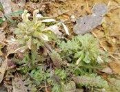Pedicularis canadensis (Wood Betony; Lousewort)