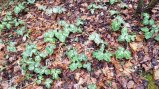 Toadshade (Trillium cuneatum)